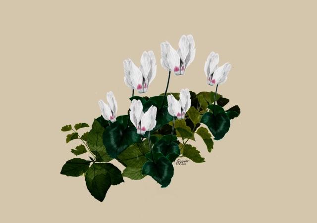 Cyclamen botanical drawing